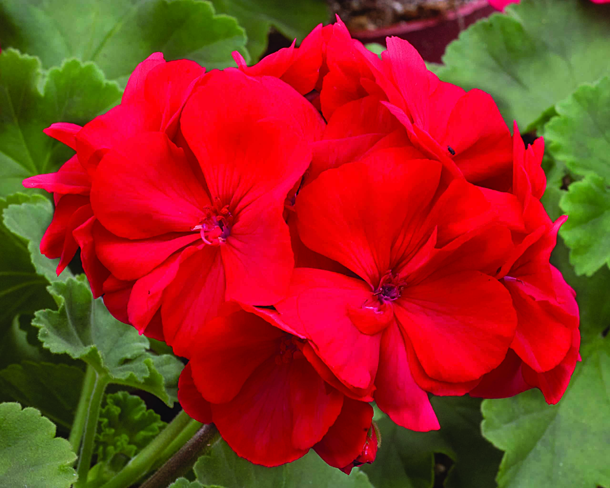 Geraniums Those Beautiful Trap Crops Welcome To Vita Gardens